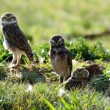 Stock Photo: Burrowing owls