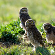 Burrowing owls — Stock Photo