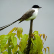 Stock Photo: Fork-tailed Flycatcher