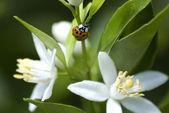 Red bug at white lemon flowers. — Stock Photo