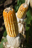 Maize Crop — Stock Photo