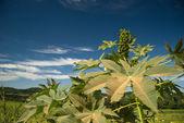 Castor Seed — Stock Photo