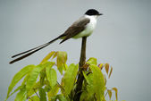 Fork-tailed Flycatcher — Stock Photo