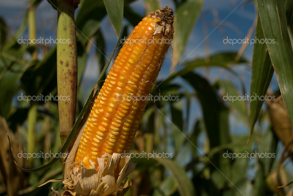 The maize is one known cultivated cereal to a large extent of the world. The maize extensively is used as human food or animal ration. — Stock Photo #1251479
