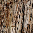 Eucalyptus Trunk — Stock Photo #1278399