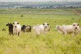 Cattle Grazing — Stock Photo