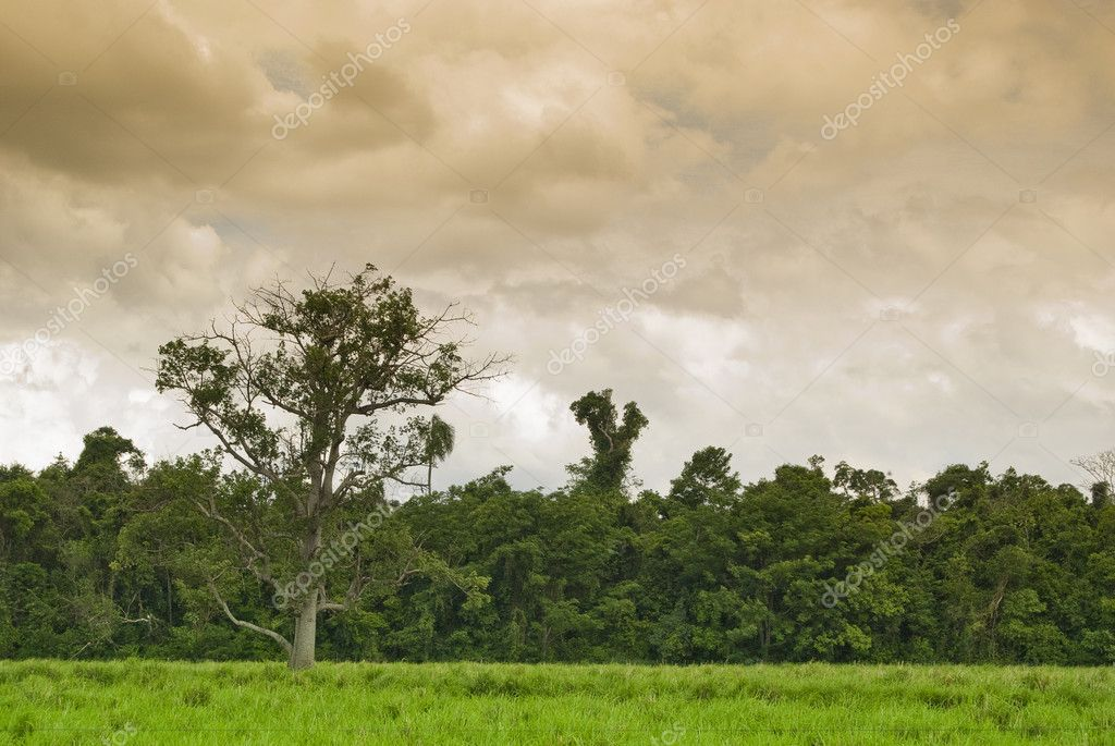 Old tree on the pasture with forest on background, farmland in southern Brazil. — Stock Photo #1278484