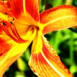 Orange Flower - Stock Photo