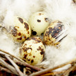 Quail eggs in nest - Stock Photo