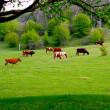 Cows grazing on a green pasture — Stock Photo #2288828