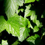 Fresh green leaves background — Stock Photo #2288950
