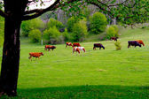 Cows grazing on a green pasture — Stock Photo