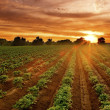 Sunset on the potato field — Stock Photo
