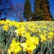 Yellow daffodils — Stock Photo #1255655