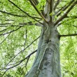 Stock Photo: Beech tree