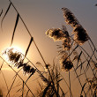 Cattail plants in back-light - Stock Photo