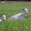 Stock Photo: Nanny goat and kid