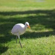 White heron — Stock Photo #1920994