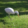 White heron — Stock Photo #1921004