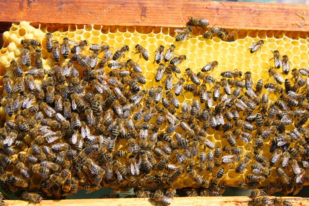 A closeup view of worker bees feverishly working to fill waxed honeycomb with honey.  Stock Photo #1281213