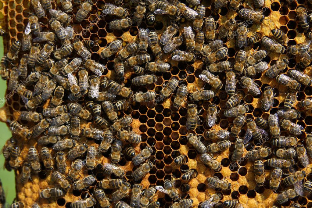 A closeup view of worker bees feverishly working to fill waxed honeycomb with honey. — Stock Photo #1281237