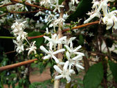 Coffee Flowers — Stock Photo