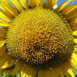 Sunflower Closeup — Stock Photo #1272945
