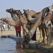 Royalty-Free Stock Photo: Camel Fair, Pushkar