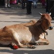 Cow on Pushkar Street — Stock Photo