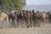 Camels at Camel Fair, Pushkar — Stock Photo