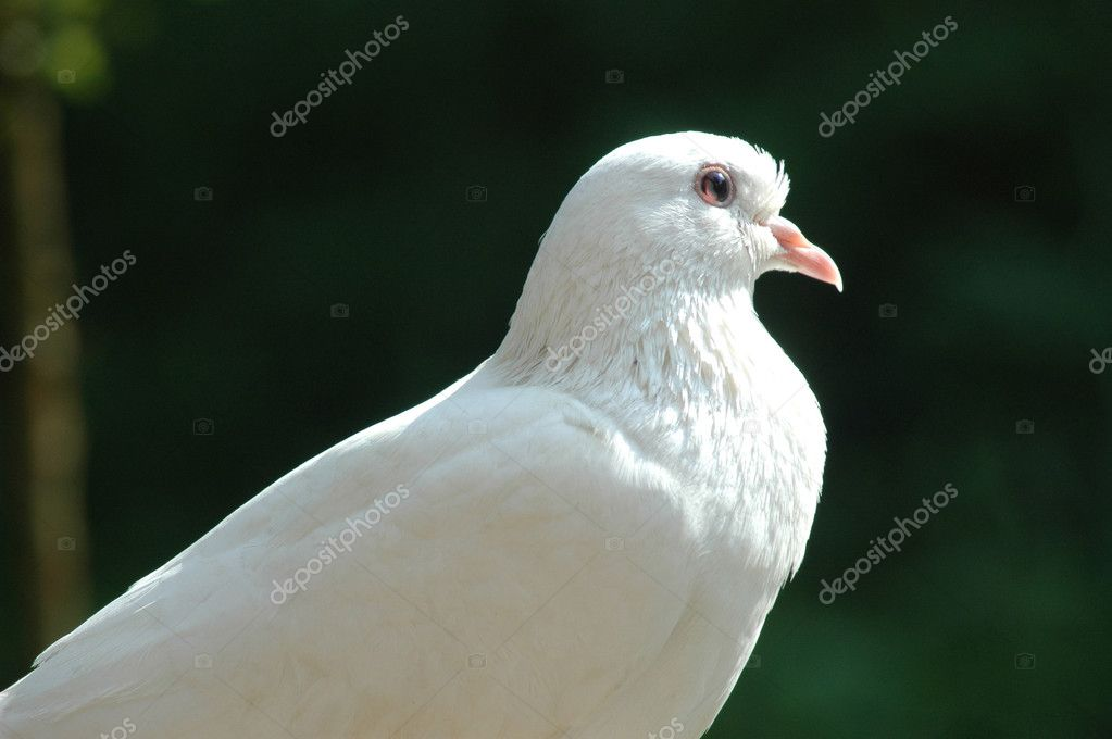 White Dove — Stock Photo #1391299