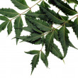 Neem Leaves — Stock Photo #1430180