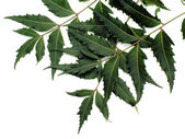Neem Leaves — Stock Photo