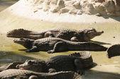 Krokodýl — Stock fotografie