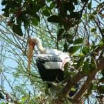Painted Stork — Stock Photo #1642404