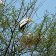 Painted Stork — Stock Photo #1642467