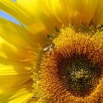 Sunflower and Honey Bee — Stock Photo #1794217