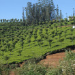Tea Garden, Ooty — Stock Photo