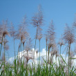 Stock Photo: Florescence of sugarcane plants