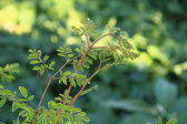 Moringa oleifera (tree of life) — Stock Photo