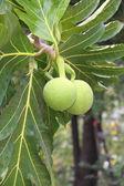 Breadfruit (Artocarpus altilis — Stock Photo