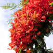 Stock Photo: Blooming flamboyant tree
