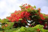 Blooming flamboyant tree. — Stock Photo