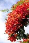Blooming flamboyant tree — Stock Photo