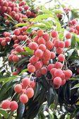 Ripe lychee — Stock Photo