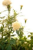 White marigold with nice bokeh — Stock Photo