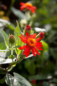 Uncultivated red flower. — Stock Photo