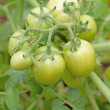 Closeup of green tomatoes — Stock Photo
