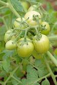Closeup of green tomatoes — Stock Photo