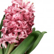 Close-up of pink hyacinth flower against — Stock Photo